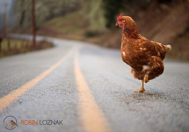 Web-Chicken-Crossing