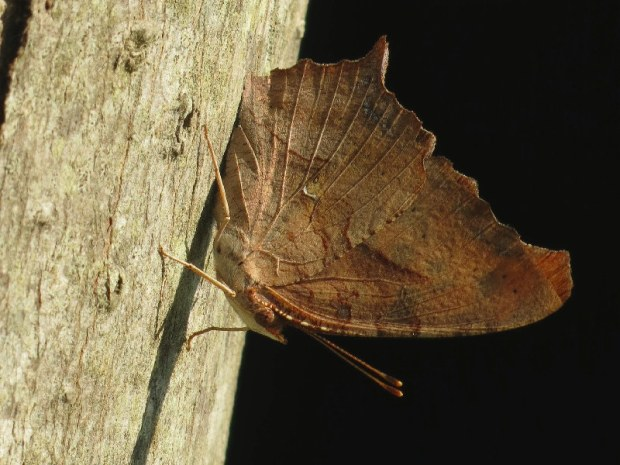 dead-leaf-butterfly
